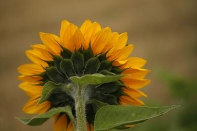 Sonnenblume_von_hinten